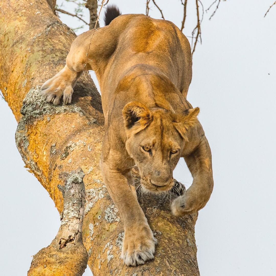 A lion coming down a tree in Queen Elizabeth Park in Uganda