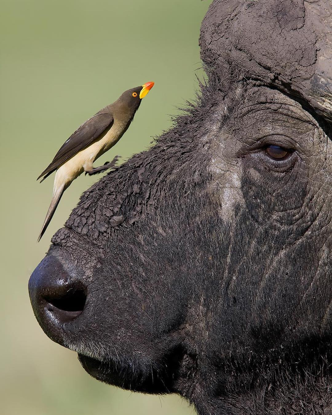 Despite their size difference, African Buffalos and Oxpeckers have formed a convenient symbiotic relationship