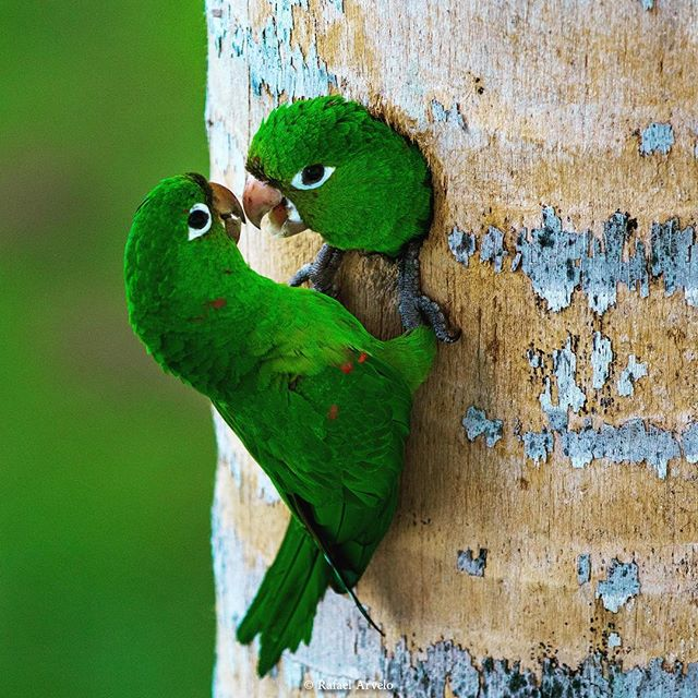 Mother and child Endemic to La Hispaniola Hispaniolan Parakeet