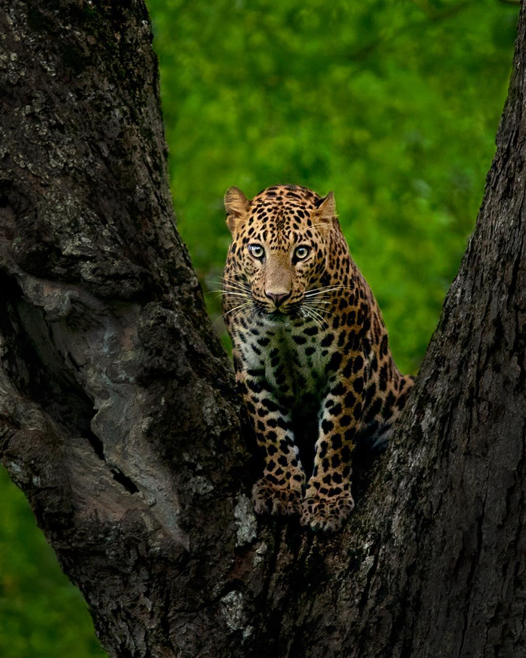 Sep 8 Picture of the day: The beautiful 3 years old young leopard sitting in V shaped tree