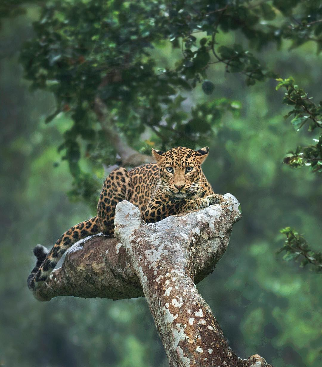 Photo of the day Sep 8 goes to Shaaz Jung, a beautiful picture of leopard sitting in a tree palm