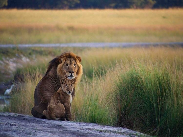 African Parks began a series of lion reintroductions to reunite this last lioness with her own kind
