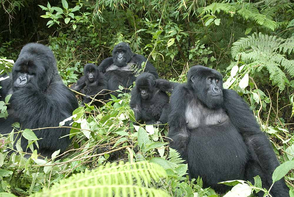 Which one between Gorilla trekking safari in Rwanda vs Gorilla trekking safari in Uganda