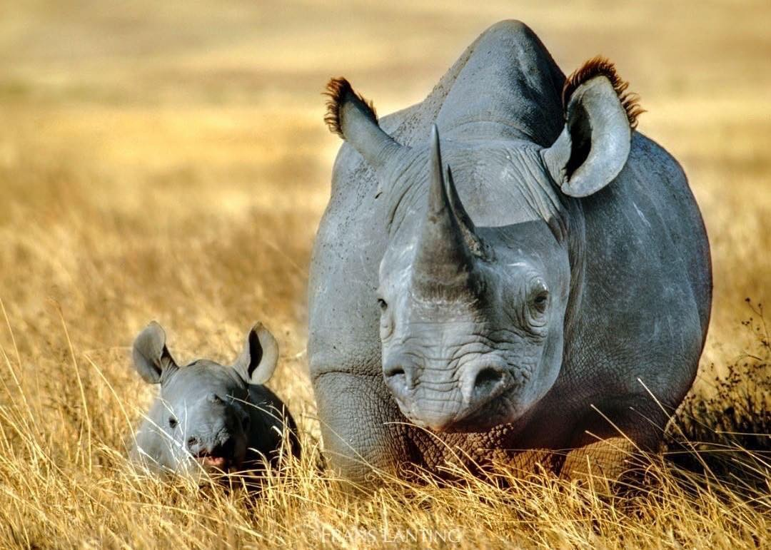 Do you Rhinos make up for not seeing well with a sharp sense of hearing ?