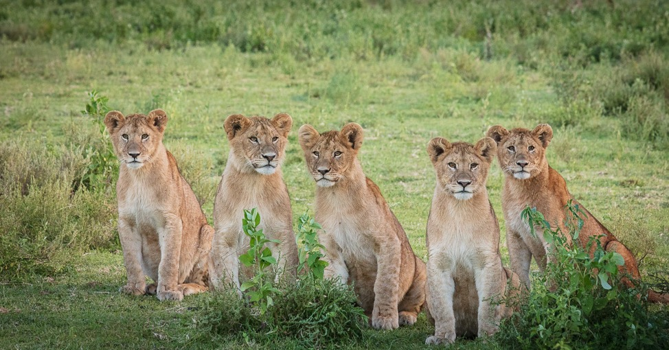 Lionesses in a pride often synchronise their reproductive cycles.
